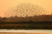 Vogelschwarm am Wechmarer Stausee