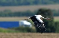 Storch auf dem Weg in den Süden an der Autobahn