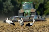 Störche auf dem frisch gepflügten Ackerland
