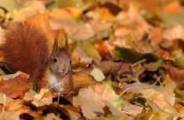 schelmisches Eichhörnchen