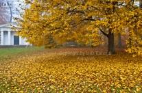 Herbstlicher Gothaer Schlosspark, das Gold fällt von den Bäumen und der Nebel schleicht sich durch den Park…