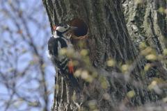 dieser Buntspecht wohnt im Gothaer Stadtpark