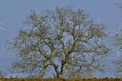 Dieser schon in die Jahre gekommene hölzerne Geselle auf den Feldern von Neufrankenroda streckt seine Äste und Zweige wie ein grafisches Kunstwerk in den blauen Himmel. Sicher auch mit einem Hauch Sehnsucht nach Frühling.