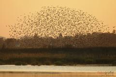 Geometrische Schauspiele und Flugakrobatik eines Vogelschwarms vor dem Start in den Süden