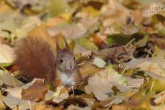 Schelmisches Eichhörnchen im Gothaer Schlosspark